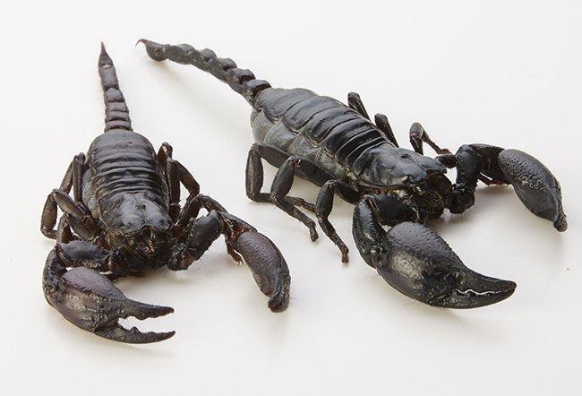 Scorpion noir commestible